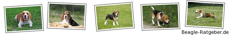 Beagle-Ratgeber.de